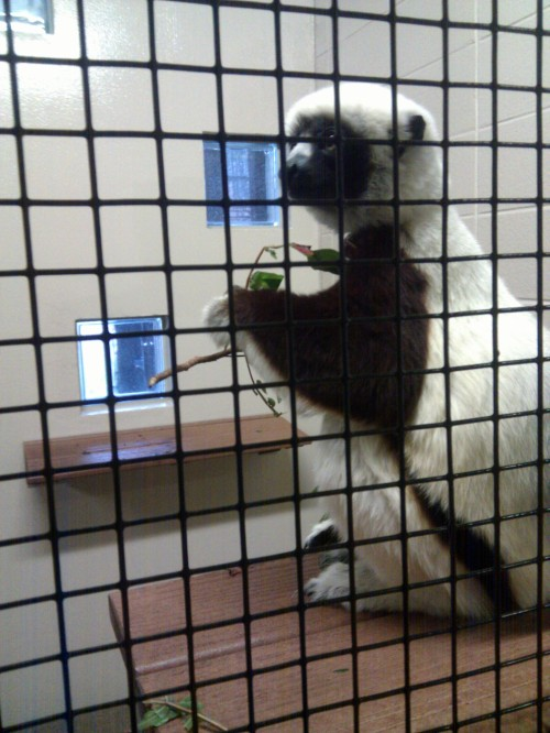 A lemur enjoys an afternoon snack at the Duke Lemur Center.