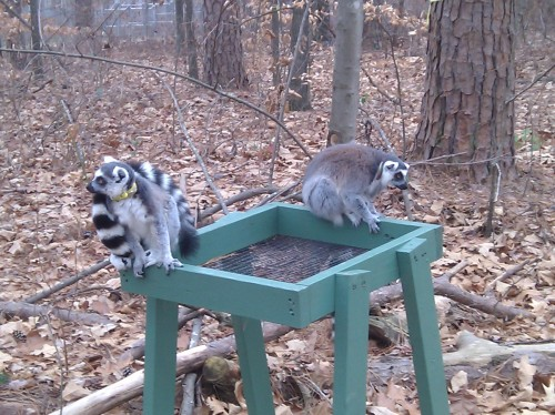 Free-ranging lemurs at Duke